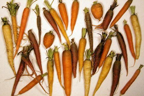 CarrotDiversityLg
